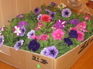 2013.05.06. Ajándék virágok az anyáknak az Önkormányzattól 012